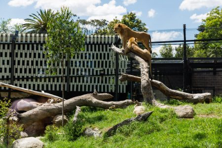 Melbourne Zoo Predators Precinct Stage 2